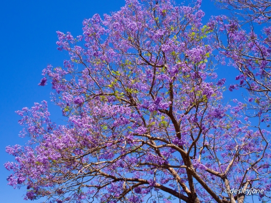 Pretty Jacaranda.