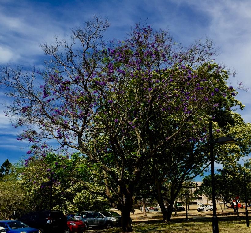 Jacaranda (iPhone)