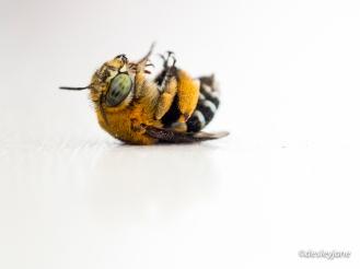 Rescued Bee on Windowsill.