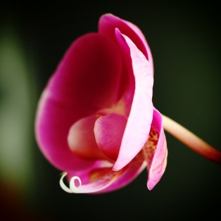 Orchid Pink.