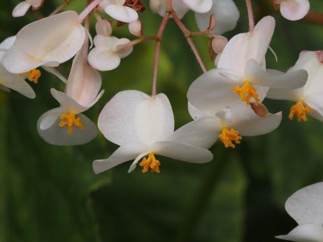Lifou Flower.
