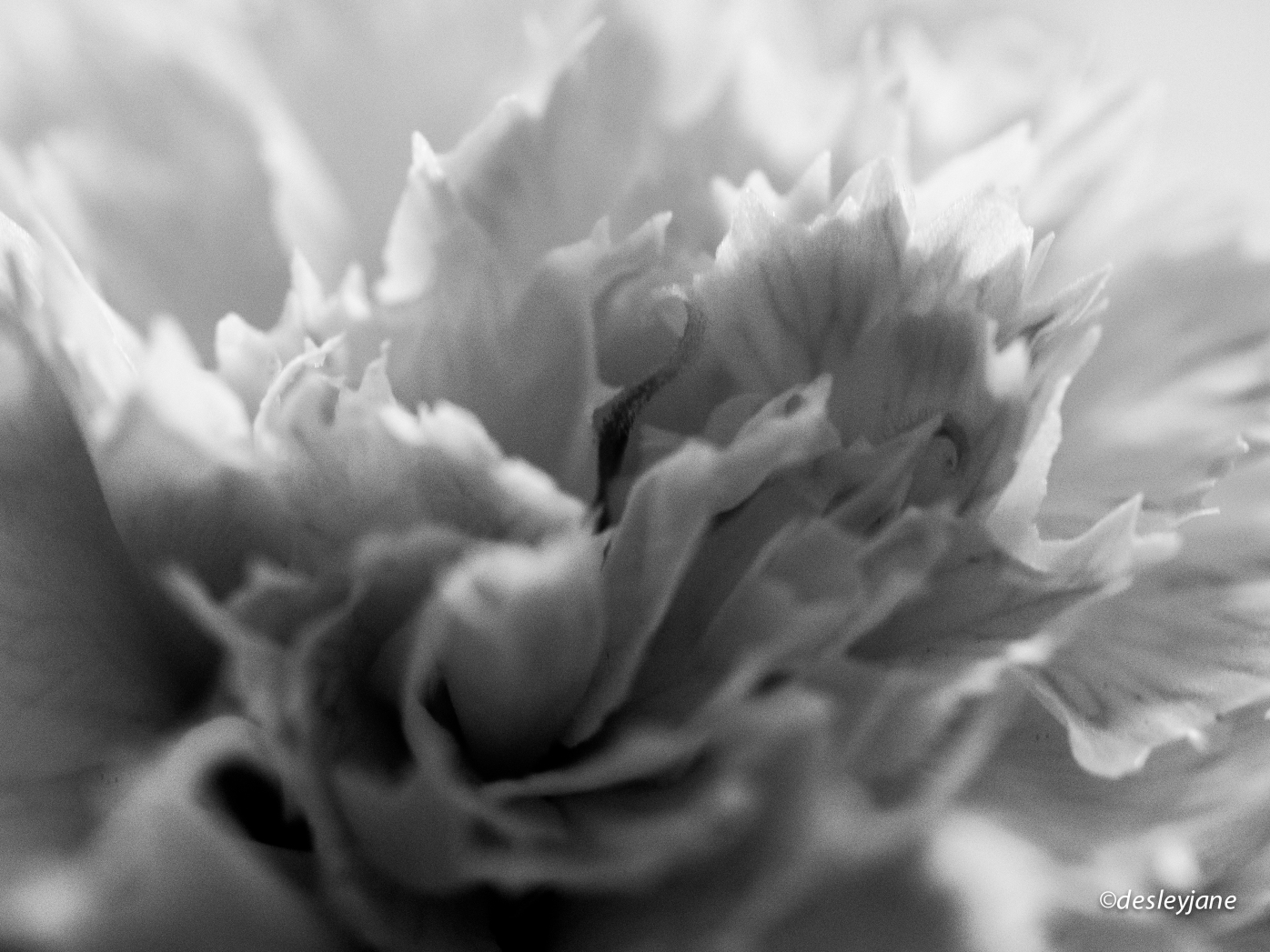 Papery Carnation.