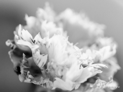 Carnation3.