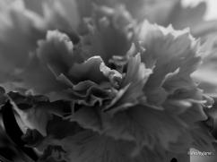 Carnation2.