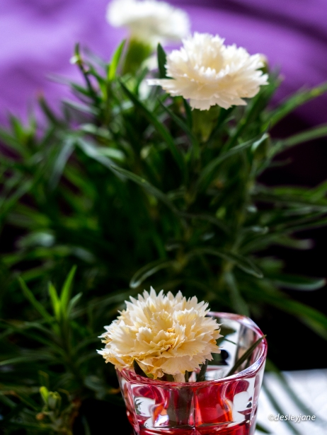 Carnation Plant.