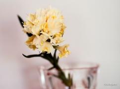 Carnation (Orange).