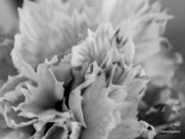 Carnation.