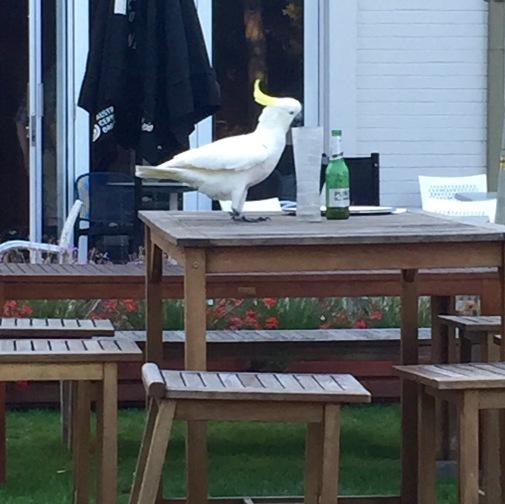 Cockatoo enjoying a beer.