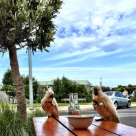 Cockatoos having some chips.