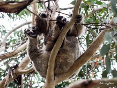 Koala Scratching.