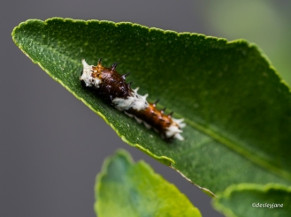 Fascinating little caterpillar.