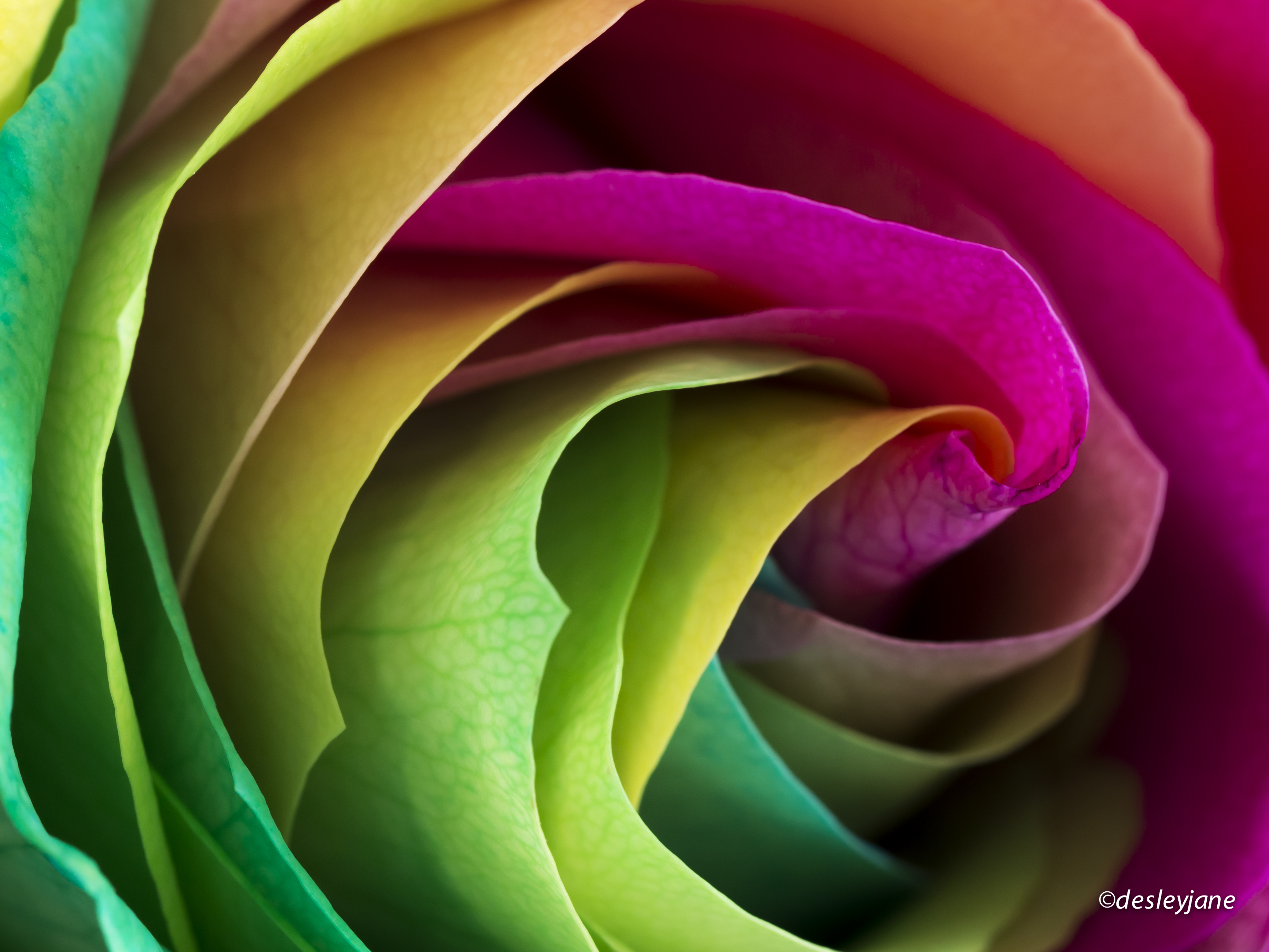 11 Real Roses And 1 Fake Rainbowroses