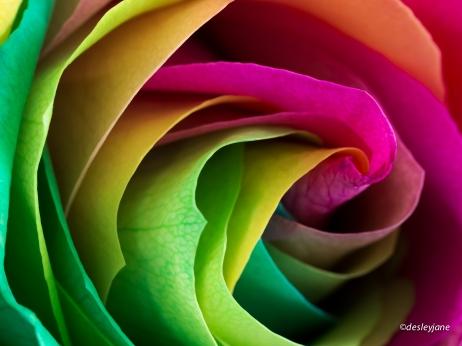 RainbowRoses-11