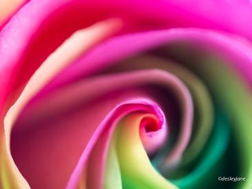 RainbowRoses-15