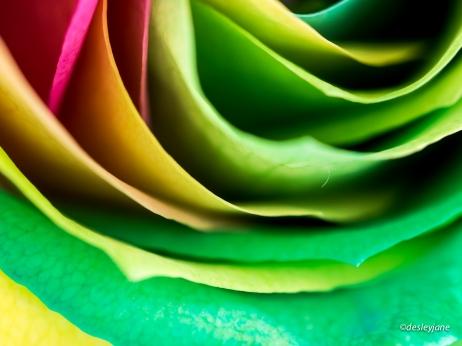 RainbowRoses-16