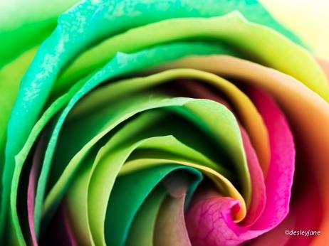 RainbowRoses-18
