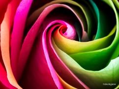 RainbowRoses-2