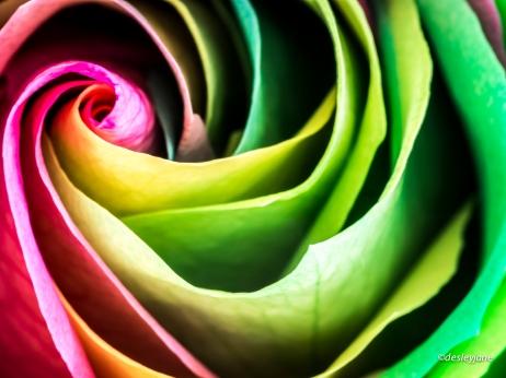 RainbowRoses-7