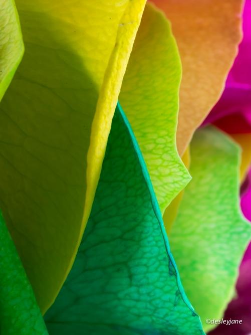 RainbowRoses-8