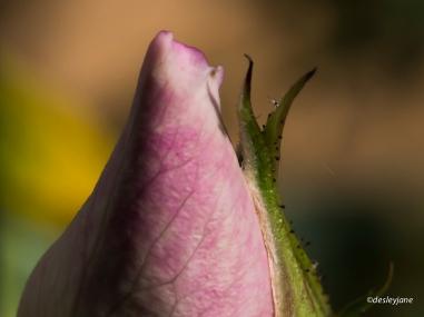 Rosebud.