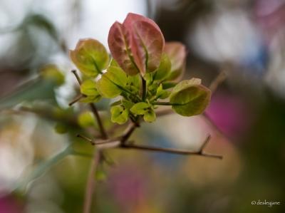 Bougainvillaea buds