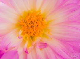 Pink Dahlia.