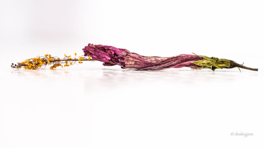 Hibiscus_Passed_2