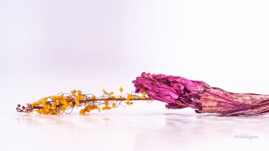 Hibiscus_Passed_3