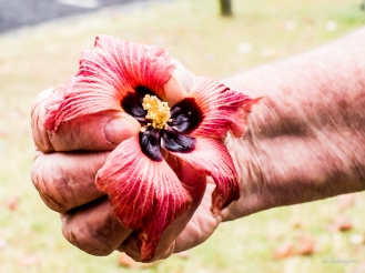 Hibiscus Trying to Fly.