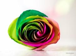 RainbowRoses-34