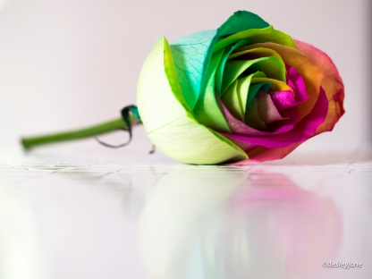 Rainbow Rose on Coffee Table.