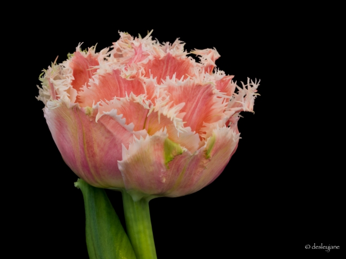Intact Tulip - Black background