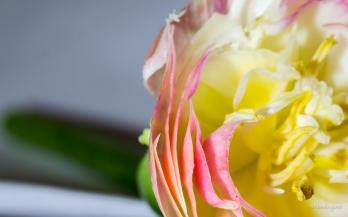 Tulipia
