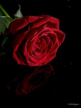 resting rose