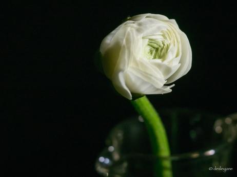 white ranunculus