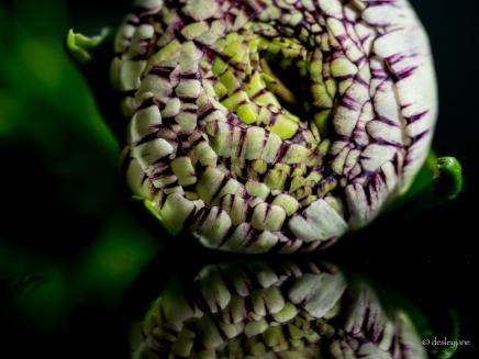 ranunculus - variegated, on mirror