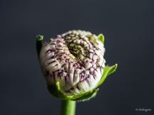 variegated ranunculus