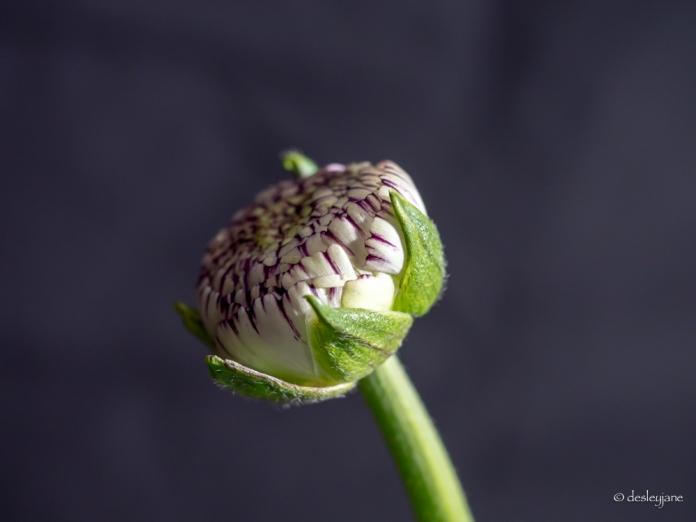 ranunculus, variegated