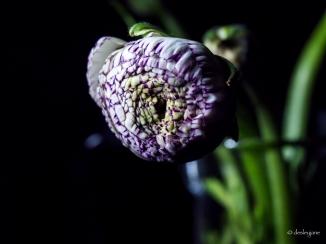 ranunculus in vase