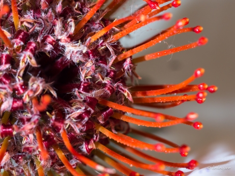 Protea up close