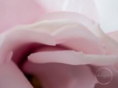 lizzianthus_30mm-3