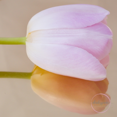Pink Tulip on Gold Tray