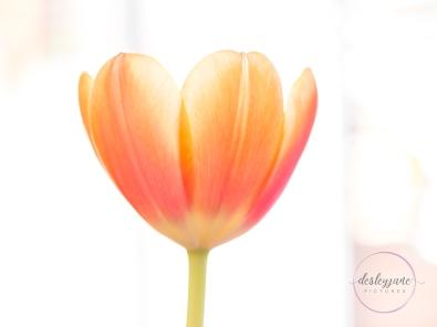 OrangeTulips-10