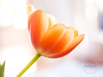 OrangeTulips-11
