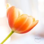 OrangeTulips-12