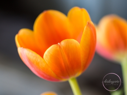 OrangeTulips-2