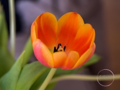 OrangeTulips-4