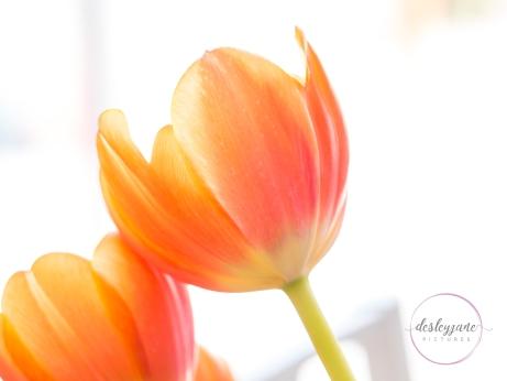 OrangeTulips-8