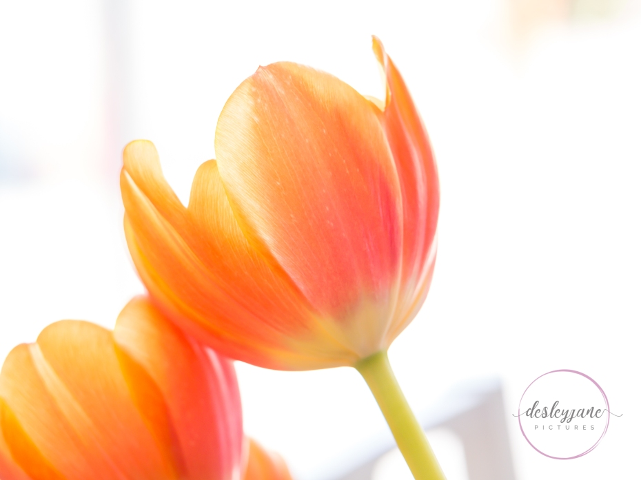 OrangeTulips-9
