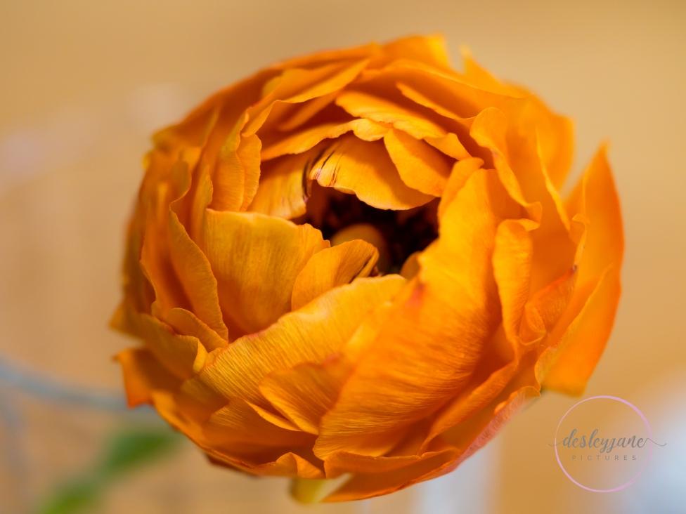 Ranunculus-14